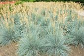 image of fescue  - Decorative grass Blue fescue  - JPG