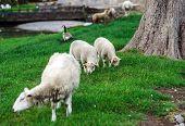 Farm Animals. Depasturing Sheeps.