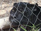 image of panther  - A Close Up Black Panther Inside the Wire of its Zoo Enclosure - JPG