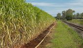 picture of sugar industry  - Australian agriculture sugar industry sugarcane crop close - JPG