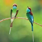 Blue Throated Bee Eater Bird