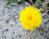 Common Dandelion Flower On Overcast Day Above Sidewalk