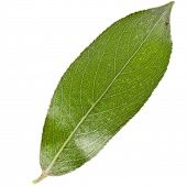 One green leaf of silver weeping willow isolated on white background