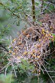 Boxthorn