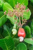 Cashew Nuts Growing On Tree
