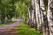 stock photo of birchwood  - straight road through the trees in a birchwood - JPG