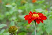 pic of zinnias  - A single red zinnia in the garden - JPG