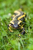 Macroshot of a Fire salamander (Salamandra salamandra)
