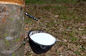 Milk From Rubber Tree Flowing Into The Bowl