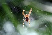 foto of cobweb  - cross spider waiting for its prey in a cobweb - JPG