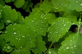 stock photo of celandine  - Background made by celandine foliage covered with dew drops - JPG