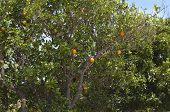 picture of tangerine-tree  - Orange orchard branches with fruits of tangerine trees photo - JPG