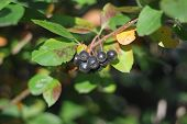 picture of chokeberry  - Chokeberry matured in suburban garden in autumn