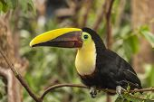 Toucan Chestnut-mandibled