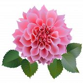 Realistic pink chrysanthemum or dahlias flower with four leaves.