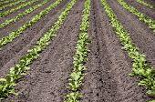 foto of sugar industry  - Plantation of sugar beet - JPG