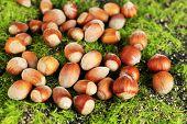 Hazelnuts  on green grass background