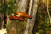 image of toadstools  - mushroom (toadstool) growing on a tree with moss