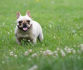 french bulldog outside in the grass