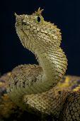 Eyelash viper / Atheris ceratophora