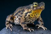 Warty toad / Bufo granulosa