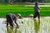 image of thai food  - Thai farmer growing young rice in field Thailand - JPG