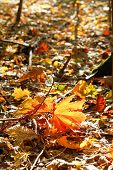 Red And Yellow Maple Leaves In Leaf Litter
