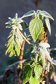 Frost On Green Nettle Leaves In Autumn