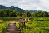 Wood path along rice field