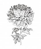 Hand-drawn chrysanthemum, vector illustration in vintage style.