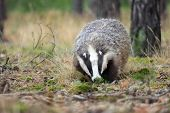 stock photo of badger  - Adult male badger in his natural enviroment - JPG