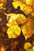 Hazel Tree Leaf In The Autumn