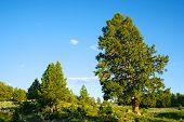 Pine Tree In Yellowstone Park