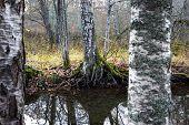 Birch Trees By Small Stream