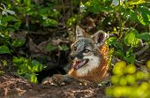 Grey Fox Vixen (urocyon Cinereoargenteus) Lies In Entrance Of Den
