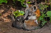 Grey Fox Vixen (urocyon Cinereoargenteus) And Her Kit At Den