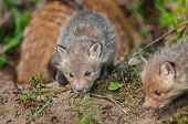Red Fox Kit (vulpes Vulpes) Sniffs Around Den - Mother In Background