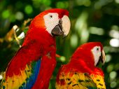 Portrait Of Colorful Scarlet Macaw Parrots