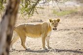 Large lion walks in Serengeti Africaa