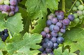 Red Grapes And Leaves
