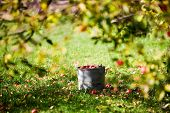 Apples in bucket under the apple tree