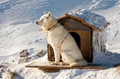 picture of sled-dog  - The dogs sitting in high mountains Alps Austria - JPG