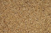 Canary seed Phalaris canariensis grass family