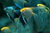stock photo of angelfish  - Pack of freshwater angelfish  - JPG