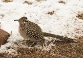 picture of greater  - Greater roadrunner waiting for prey on the edge of a snowy patch - JPG