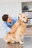 picture of otoscope  - Veterinarian using otoscope to dog in medical office - JPG