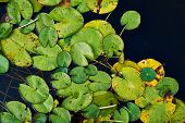 stock photo of water lily  - Water lily nymphaea leaves over the water surface composition - JPG