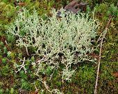 foto of bohemia  - view Icelandic moss South Bohemia Czech Republic - JPG