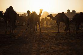 foto of camel-cart  - Camels at Pushkar Camel Fair - JPG