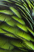 picture of green-winged macaw  - Green bird plumage Harlequin Macaw feathers nature texture background - JPG